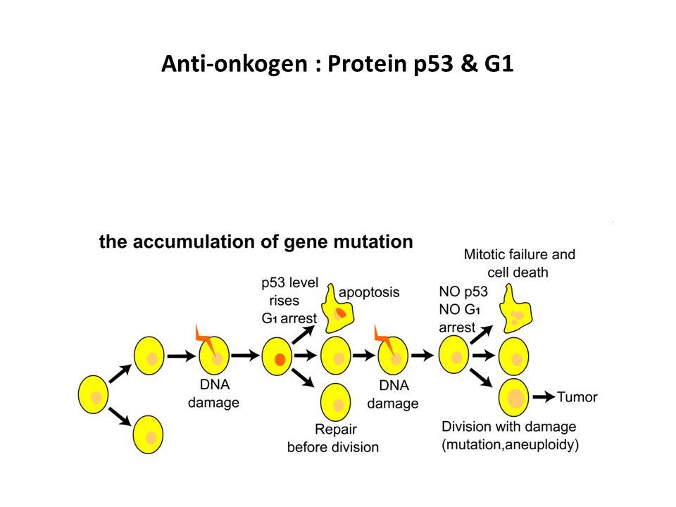 Anti-onkogen : Protein p53 & G1