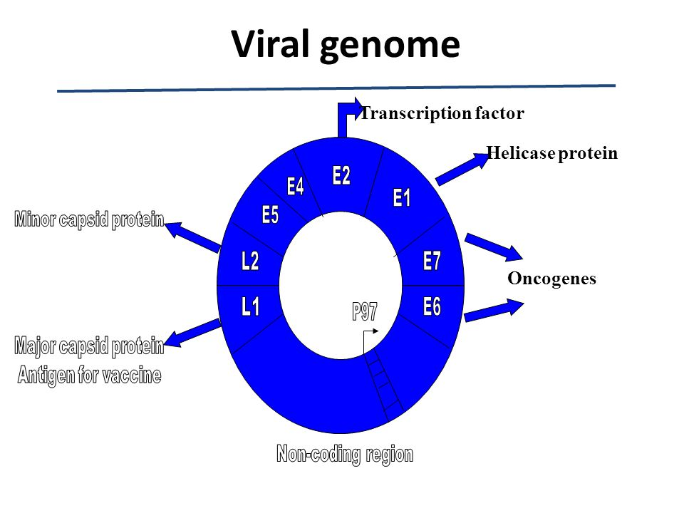 Viral genome Transcription factor Helicase protein Oncogenes