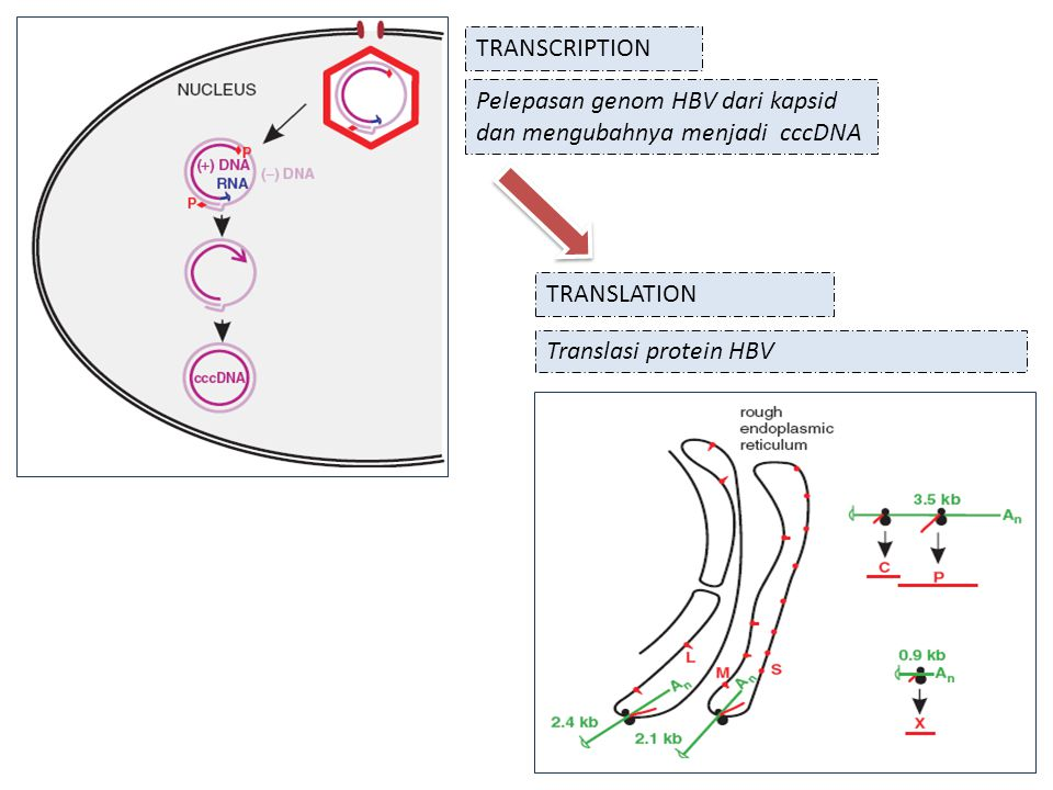 TRANSCRIPTION Pelepasan genom HBV dari kapsid dan mengubahnya menjadi cccDNA.
