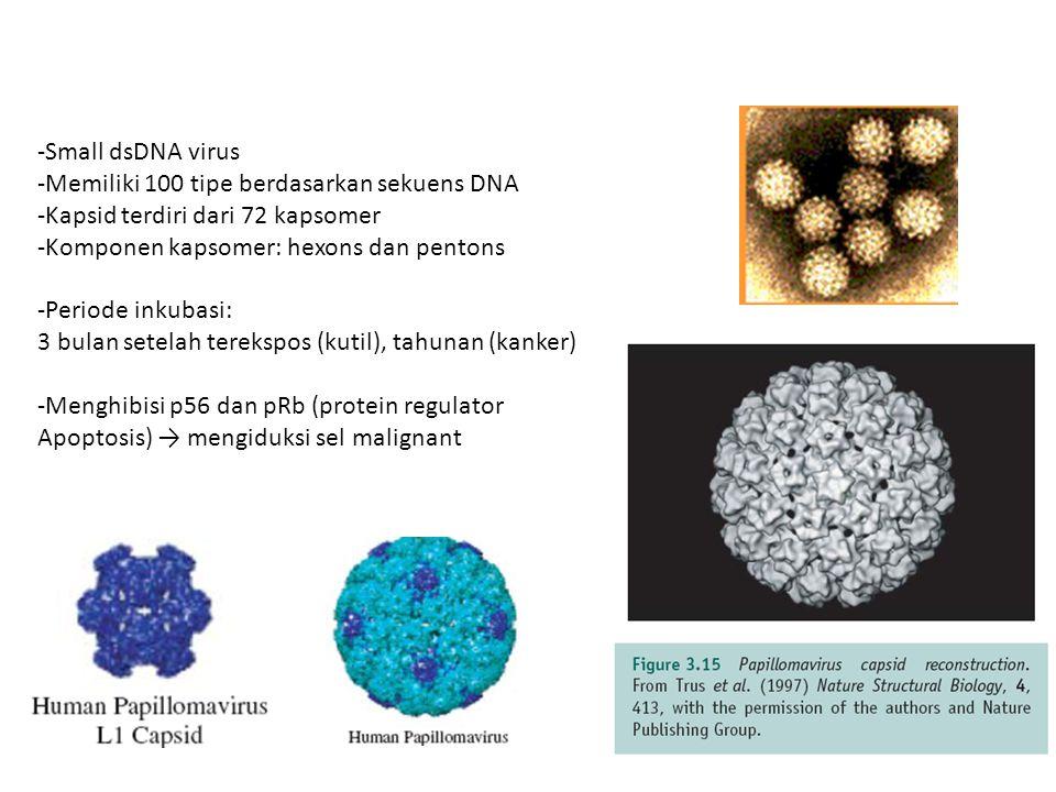 Small dsDNA virus Memiliki 100 tipe berdasarkan sekuens DNA. Kapsid terdiri dari 72 kapsomer. Komponen kapsomer: hexons dan pentons.