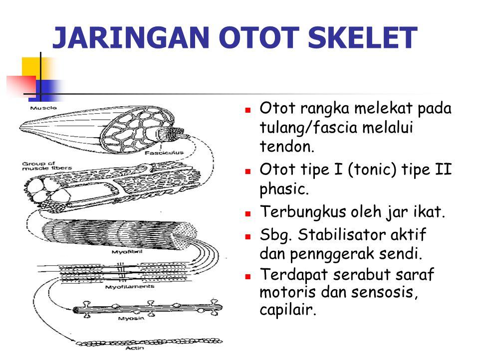 JARINGAN OTOT SKELET Otot rangka melekat pada tulang/fascia melalui tendon. Otot tipe I (tonic) tipe II phasic.