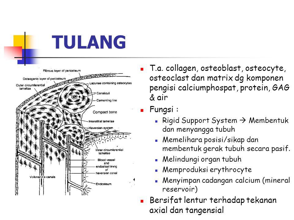 TULANG T.a. collagen, osteoblast, osteocyte, osteoclast dan matrix dg komponen pengisi calciumphospat, protein, GAG & air.