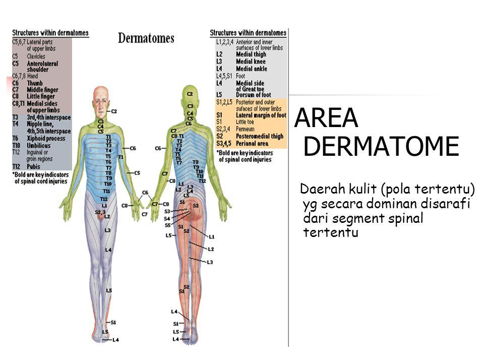 AREA DERMATOME Daerah kulit (pola tertentu) yg secara dominan disarafi dari segment spinal tertentu