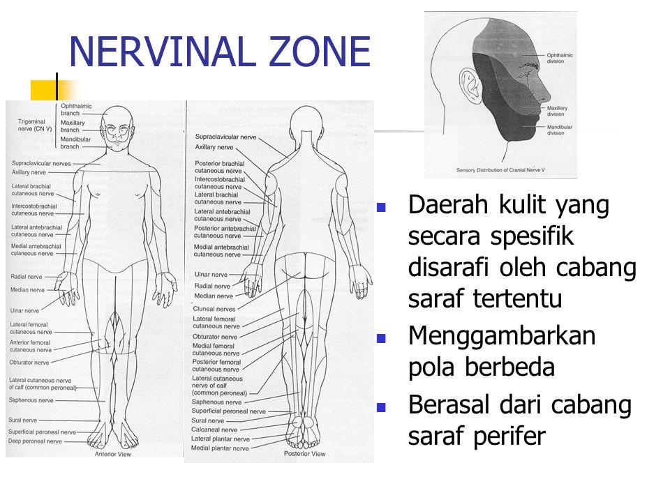 NERVINAL ZONE Daerah kulit yang secara spesifik disarafi oleh cabang saraf tertentu. Menggambarkan pola berbeda.