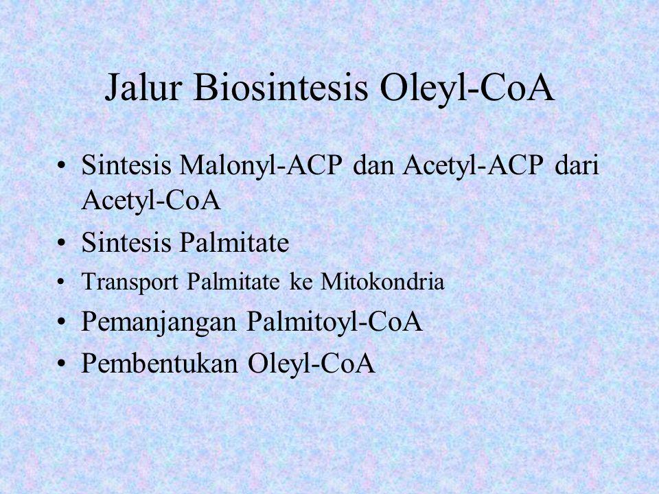 Jalur Biosintesis Oleyl-CoA