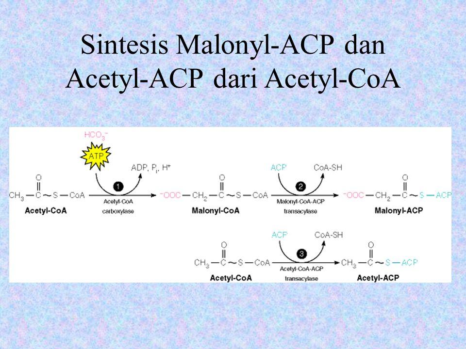 Sintesis Malonyl-ACP dan Acetyl-ACP dari Acetyl-CoA