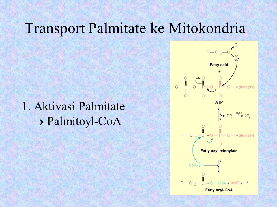 Transport Palmitate ke Mitokondria