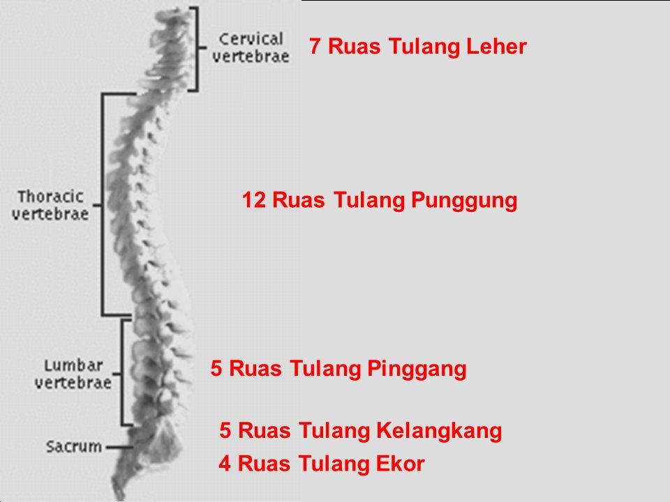 7 Ruas Tulang Leher 12 Ruas Tulang Punggung. 5 Ruas Tulang Pinggang.