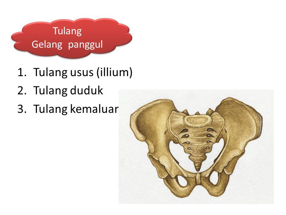 Tulang usus (illium) Tulang duduk Tulang kemaluan Tulang