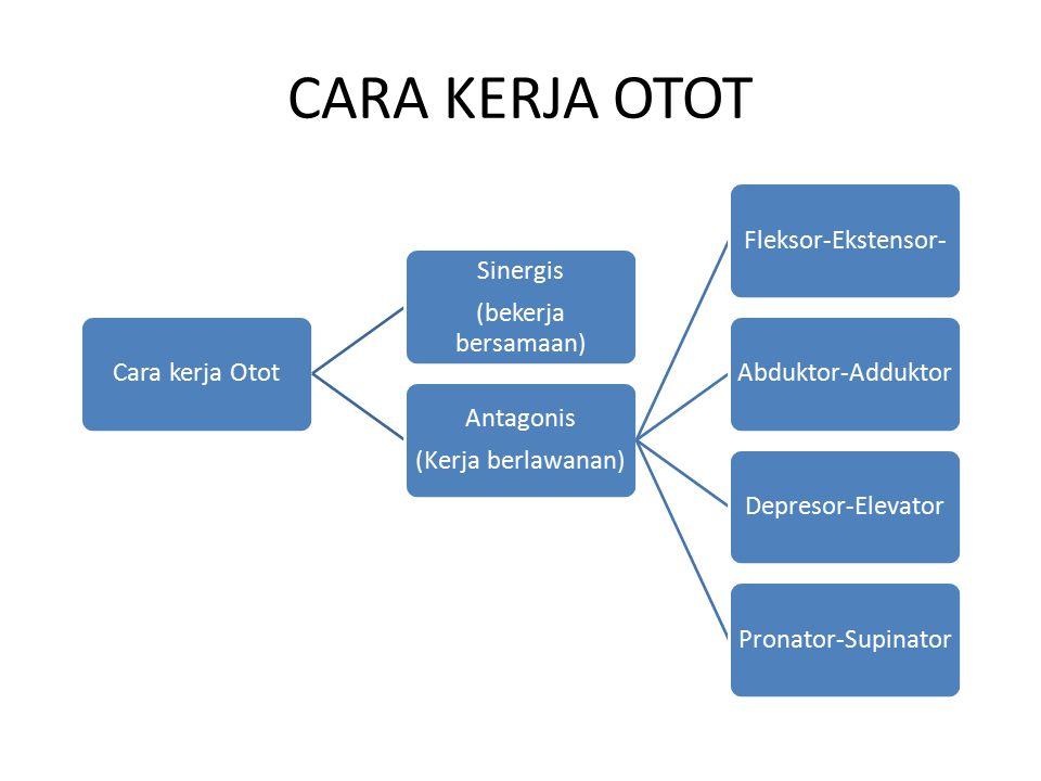 CARA KERJA OTOT Cara kerja Otot (bekerja bersamaan) Sinergis