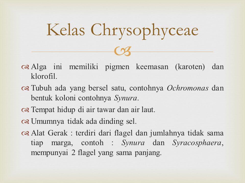 Kelas Chrysophyceae Alga ini memiliki pigmen keemasan (karoten) dan klorofil.