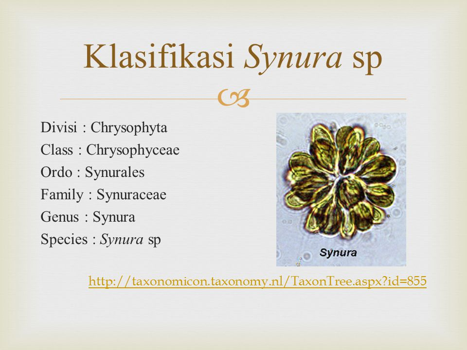 Klasifikasi Synura sp Divisi : Chrysophyta Class : Chrysophyceae