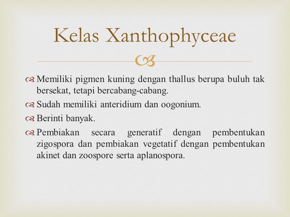 Kelas Xanthophyceae Memiliki pigmen kuning dengan thallus berupa buluh tak bersekat, tetapi bercabang-cabang.