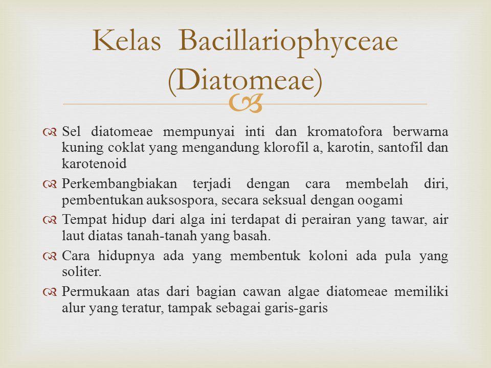 Kelas Bacillariophyceae (Diatomeae)