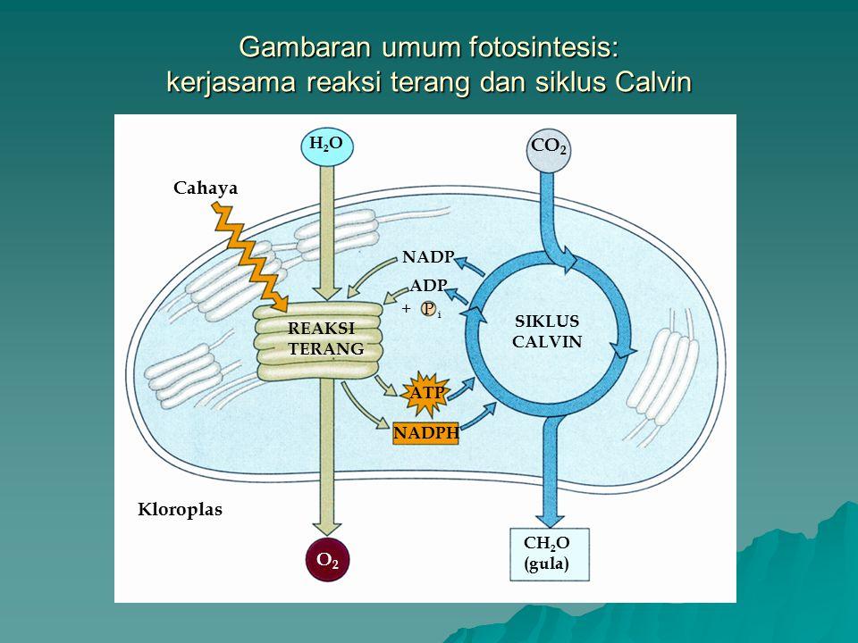 Gambaran umum fotosintesis: kerjasama reaksi terang dan siklus Calvin