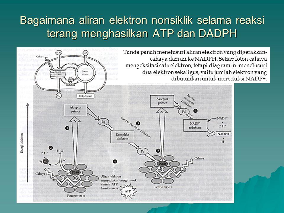 Bagaimana aliran elektron nonsiklik selama reaksi terang menghasilkan ATP dan DADPH