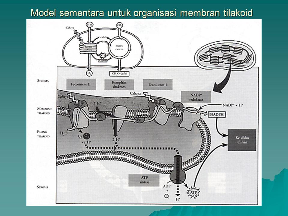 Model sementara untuk organisasi membran tilakoid