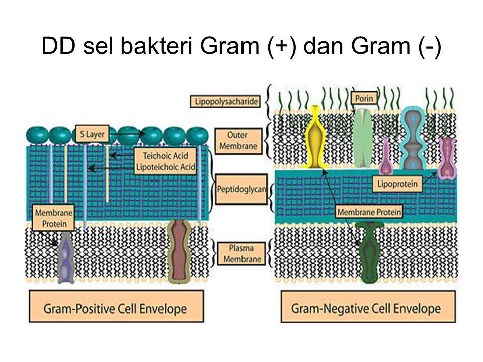 DD sel bakteri Gram (+) dan Gram (-)