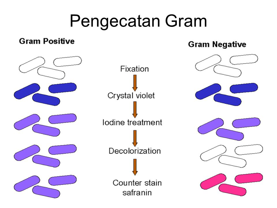 Pengecatan Gram