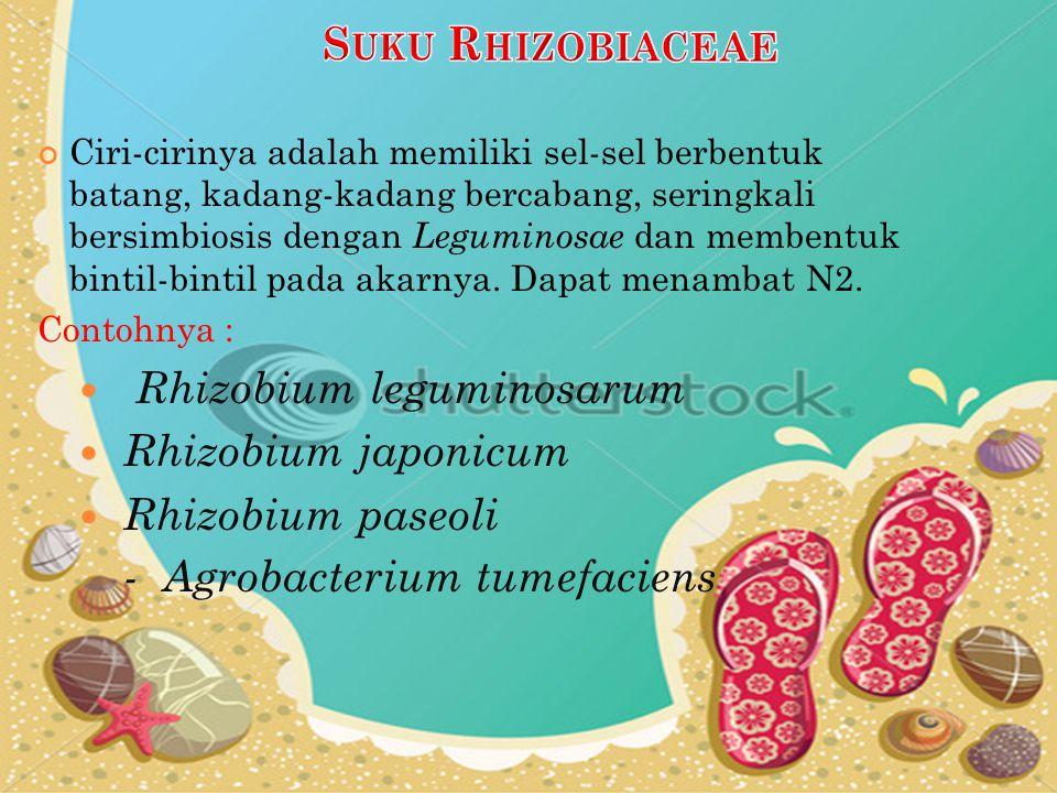 Rhizobium leguminosarum Rhizobium japonicum Rhizobium paseoli