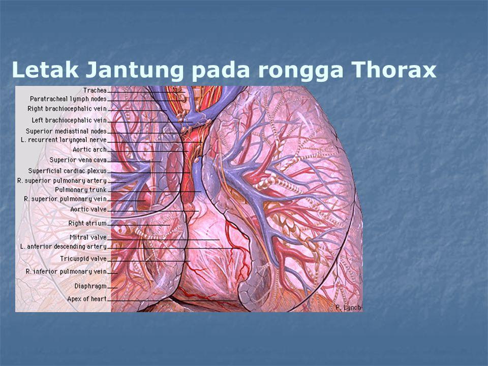 Letak Jantung pada rongga Thorax