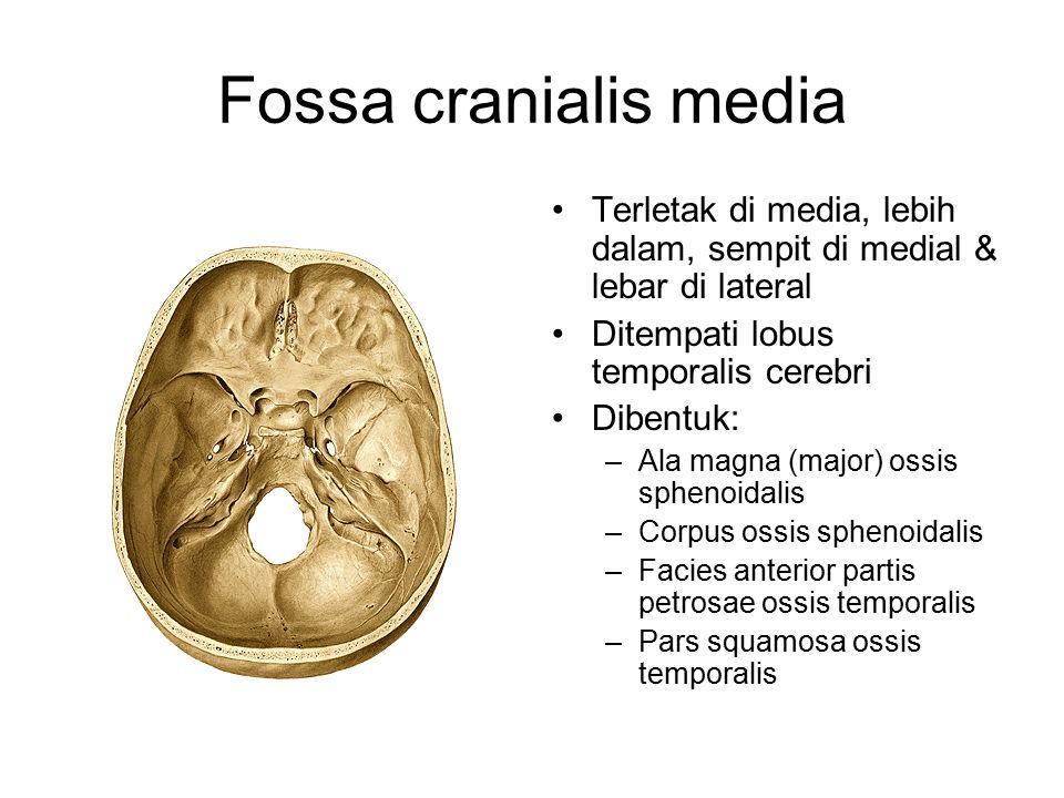 Fossa cranialis media Terletak di media, lebih dalam, sempit di medial & lebar di lateral. Ditempati lobus temporalis cerebri.