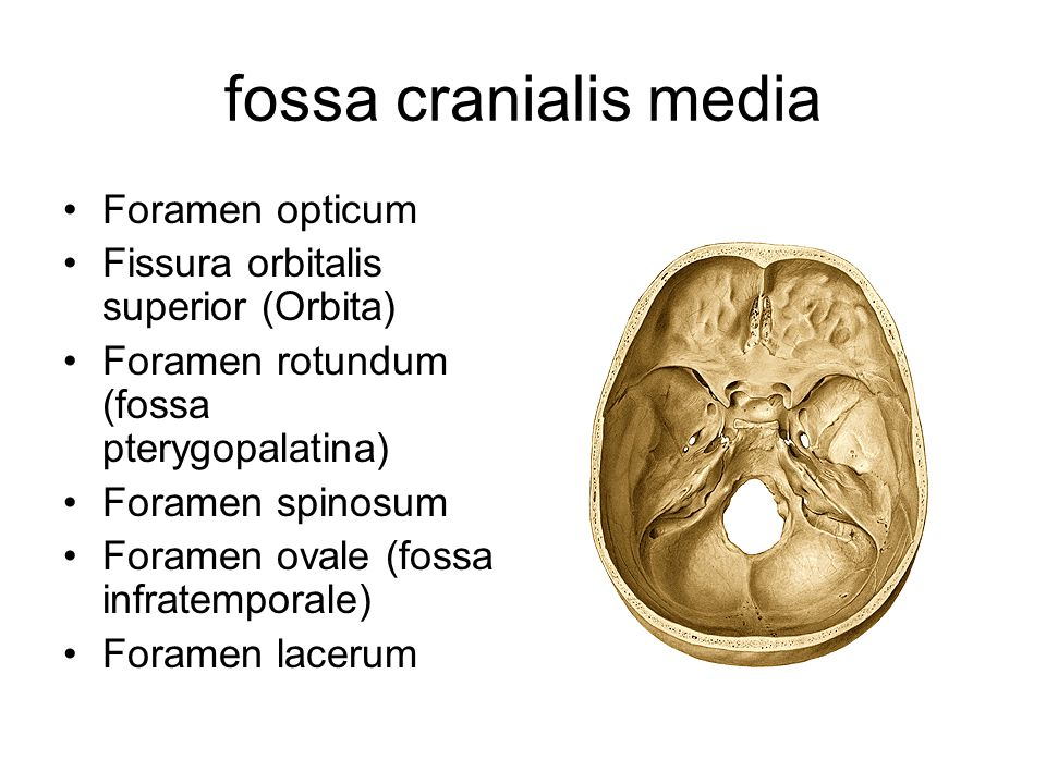 fossa cranialis media Foramen opticum