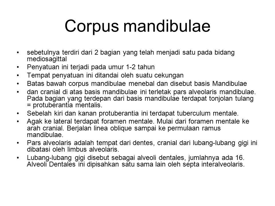 Corpus mandibulae sebetulnya terdiri dari 2 bagian yang telah menjadi satu pada bidang mediosagittal.