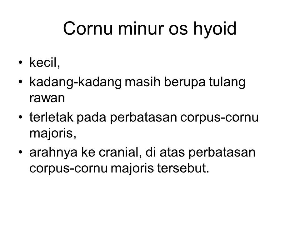 Cornu minur os hyoid kecil, kadang-kadang masih berupa tulang rawan