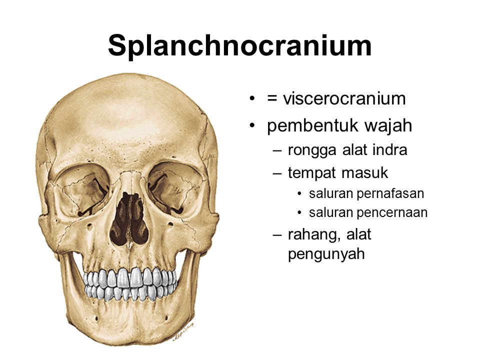 Splanchnocranium = viscerocranium pembentuk wajah rongga alat indra