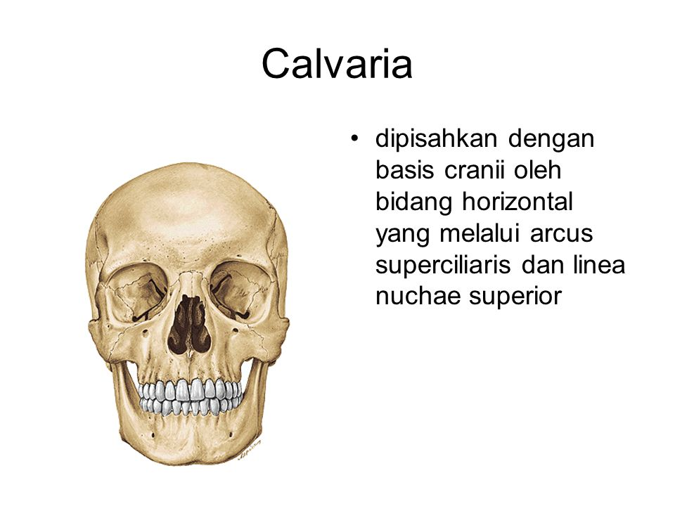 Calvaria dipisahkan dengan basis cranii oleh bidang horizontal yang melalui arcus superciliaris dan linea nuchae superior.