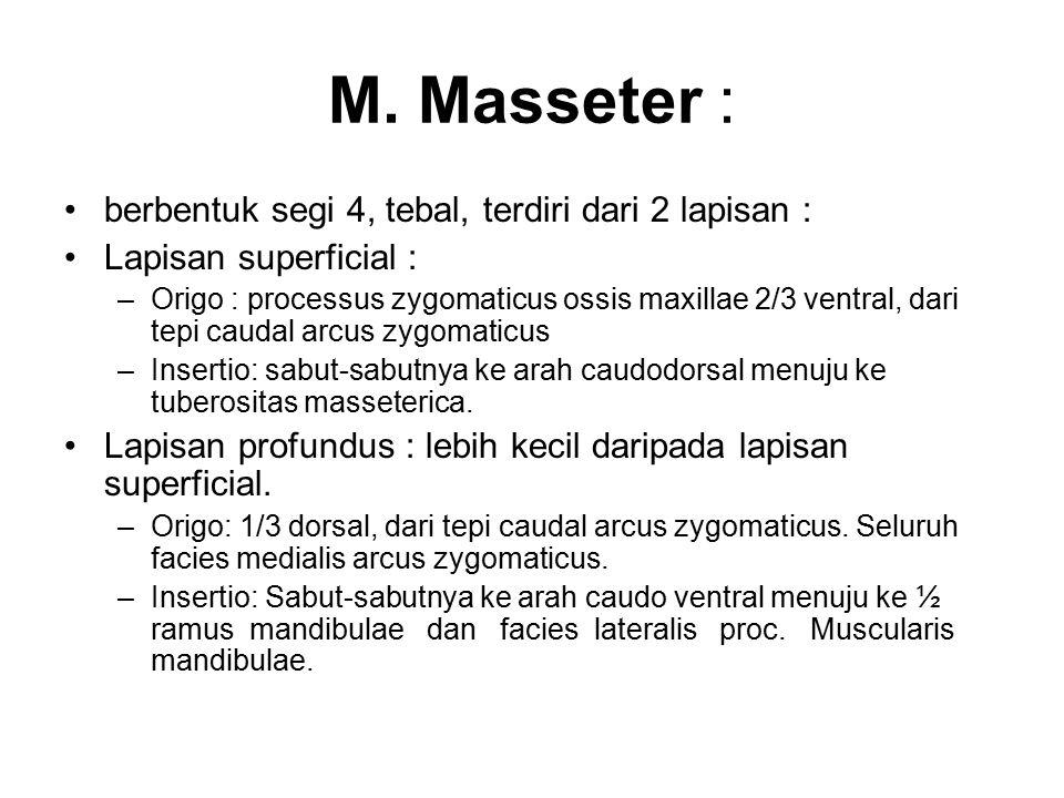 M. Masseter : berbentuk segi 4, tebal, terdiri dari 2 lapisan :