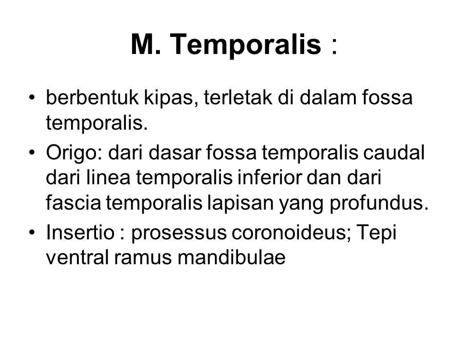 M. Temporalis : berbentuk kipas, terletak di dalam fossa temporalis.