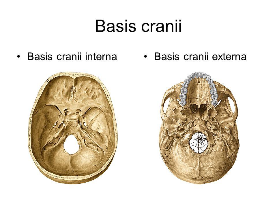 Basis cranii Basis cranii interna Basis cranii externa