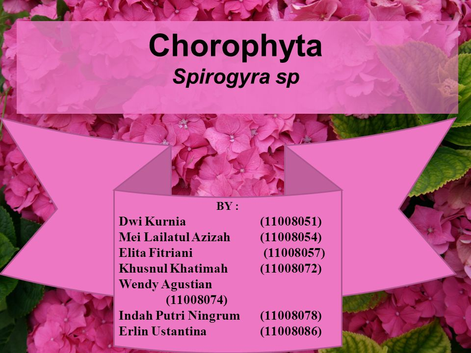 Chorophyta Spirogyra sp