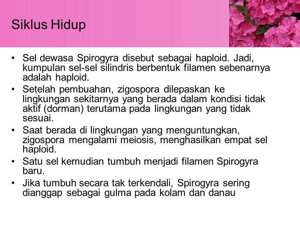 Siklus Hidup Sel dewasa Spirogyra disebut sebagai haploid. Jadi, kumpulan sel-sel silindris berbentuk filamen sebenarnya adalah haploid.