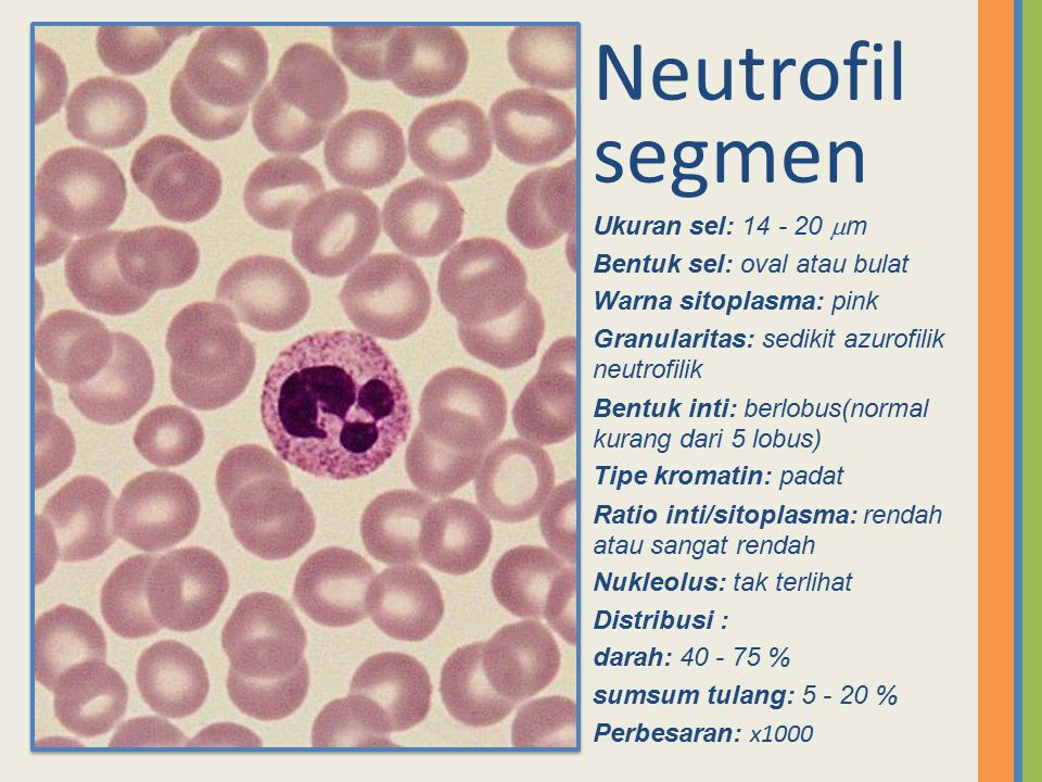 Neutrofil segmen Ukuran sel: 14 - 20 m Bentuk sel: oval atau bulat