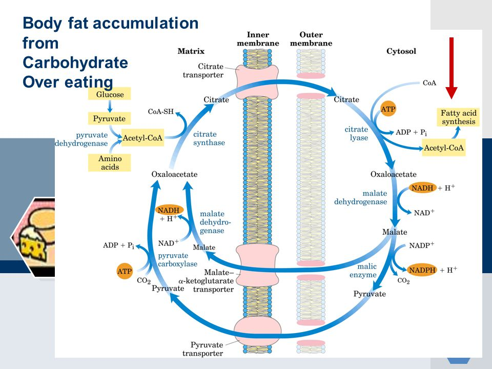 Body fat accumulation from Carbohydrate Over eating