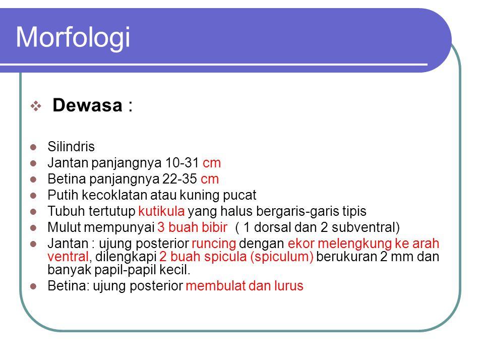 Morfologi Dewasa : Silindris Jantan panjangnya 10-31 cm
