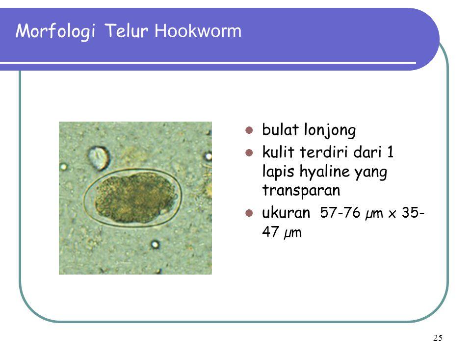 Morfologi Telur Hookworm