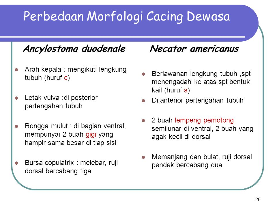 Perbedaan Morfologi Cacing Dewasa
