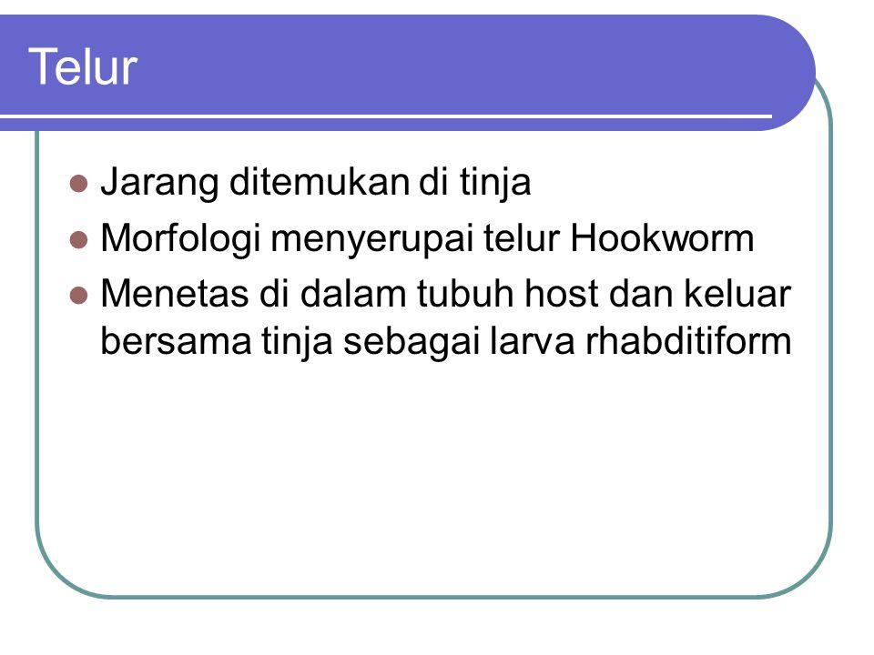 Telur Jarang ditemukan di tinja Morfologi menyerupai telur Hookworm
