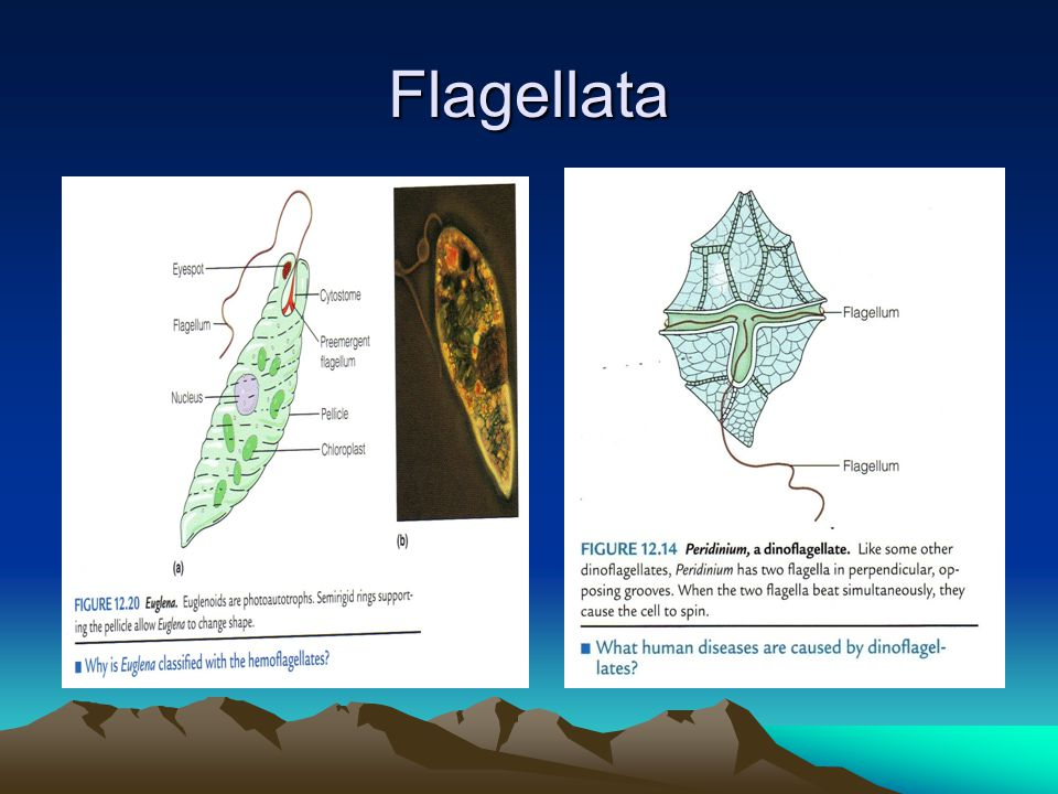 Flagellata