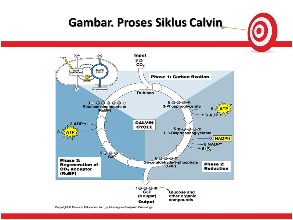 Gambar. Proses Siklus Calvin
