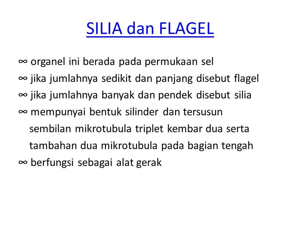 SILIA dan FLAGEL ∞ organel ini berada pada permukaan sel