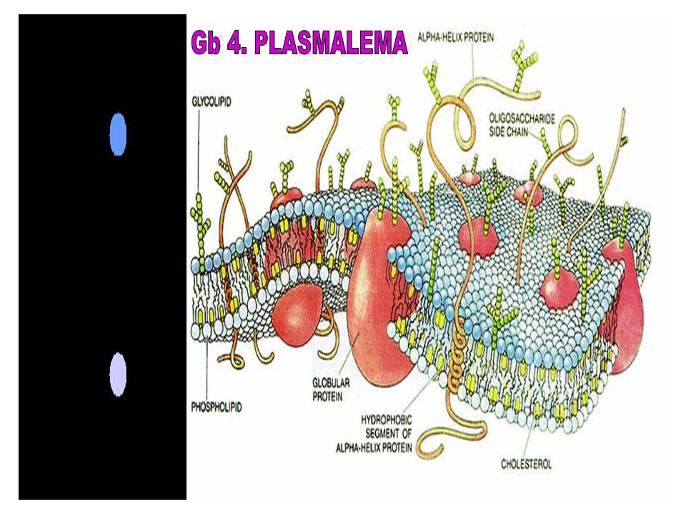 Gb 4. PLASMALEMA