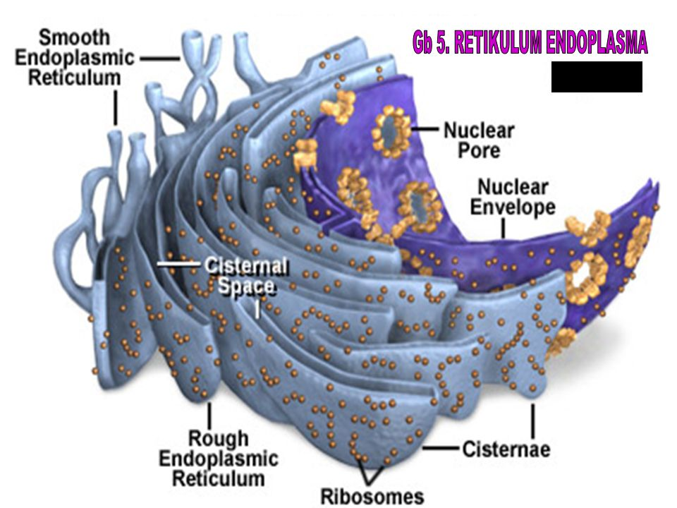 Gb 5. RETIKULUM ENDOPLASMA