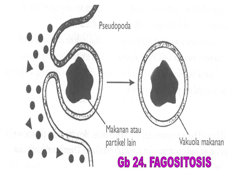 Gb 24. FAGOSITOSIS