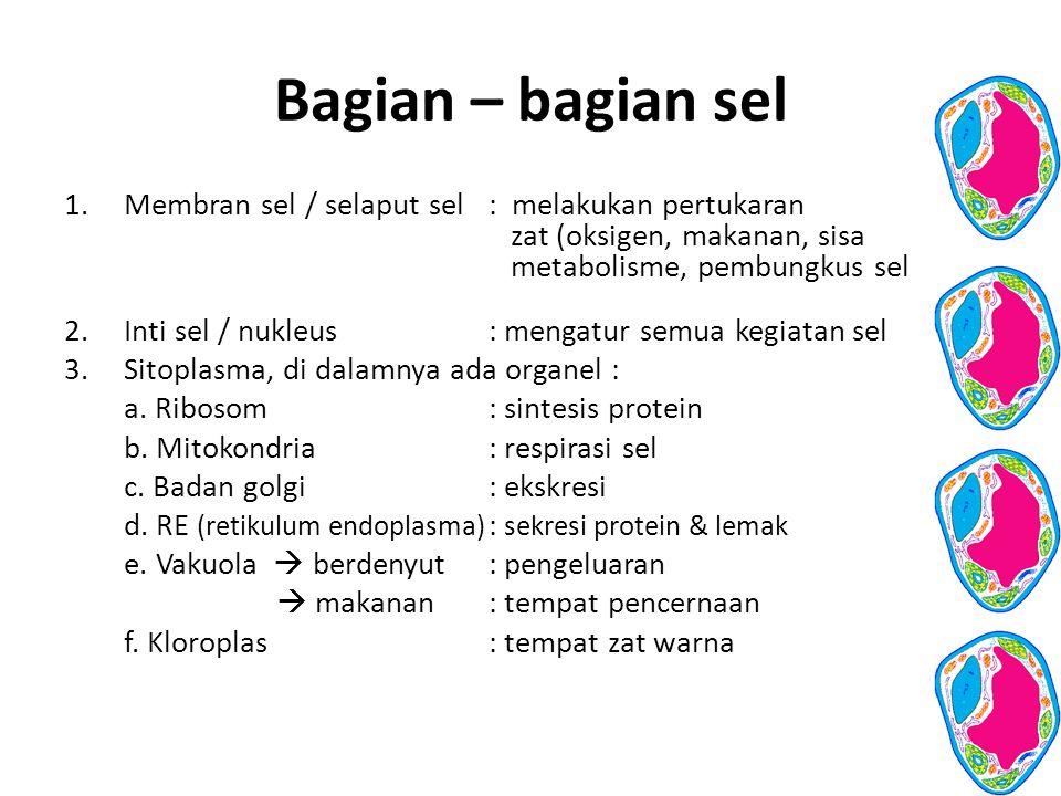 Bagian – bagian sel Membran sel / selaput sel : melakukan pertukaran zat (oksigen, makanan, sisa metabolisme, pembungkus sel.