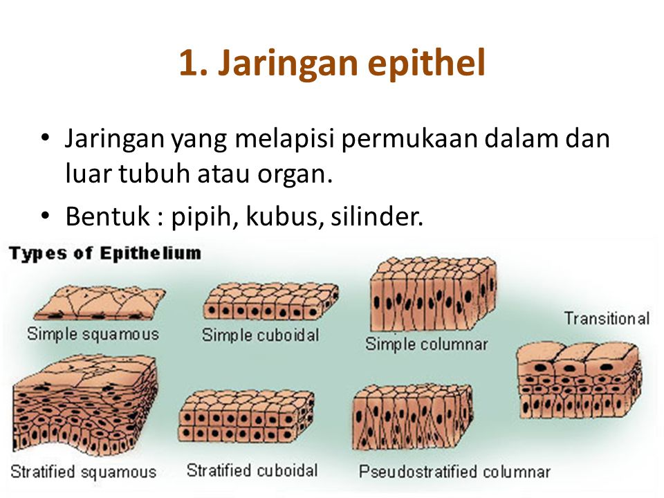 1. Jaringan epithel Jaringan yang melapisi permukaan dalam dan luar tubuh atau organ.